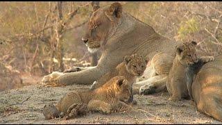 Safari Live : The Nkuhuma Pride all 13 together on the AM drive Aug 16, 2016 thumbnail