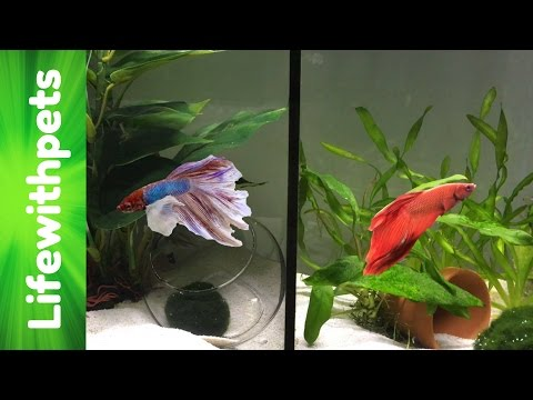 How We Do Our Divided Betta Fish Tank Filtration