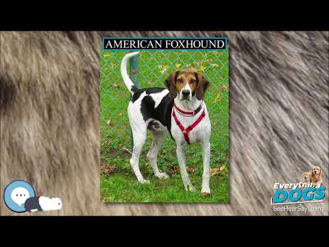 American Foxhound  Everything Dog Breeds