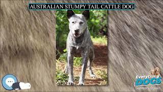Australian Stumpy Tail Cattle Dog  Everything Dog Breeds
