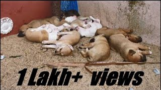 Street mother dog given a birth 10 Cute puppies - she's feeding 10 puppies - Dogoftheday