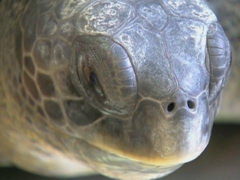 Плавник-протез возвращает черепаху к жизни (новости)