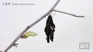 大鳳蝶羽化Papilio memnon heronus ナガサキアゲハMusic by Dexter Brit...