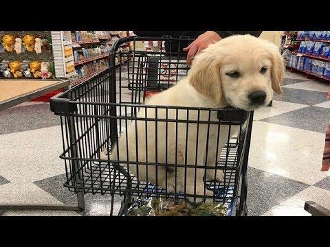 Funniest & Cutest Golden Retriever Puppies #21 - Funny Puppy Videos 2019