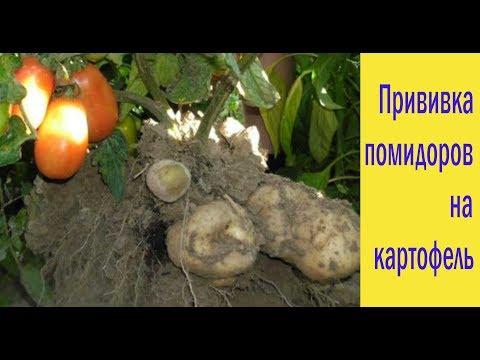 Вопрос: Можно ли сажать помидоры рядом с картофелем?