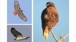 Identifying Raptors
