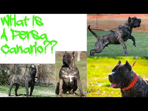 Introducing The Presa Canario!!!