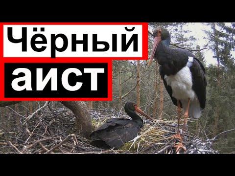Аист чёрный гнездо птицы