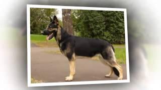 Собаки породы Восточно европейская овчарка!