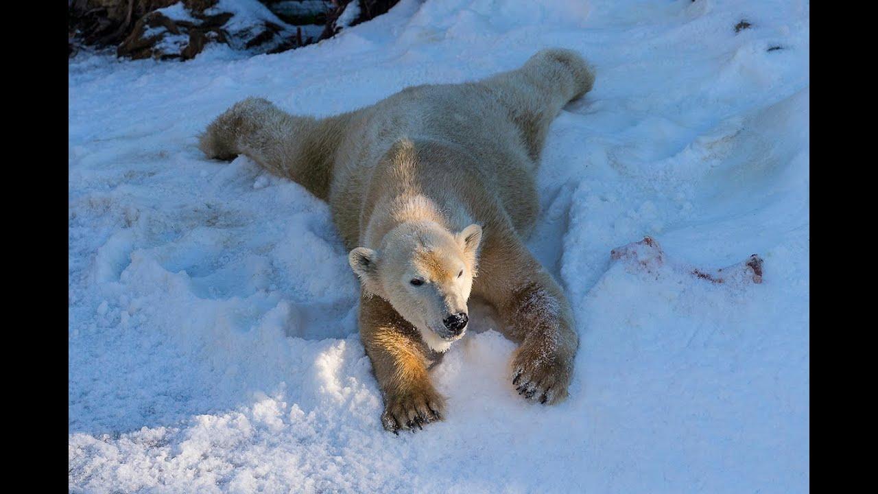 Polar Bears Play in Snow at the San Diego Zoo