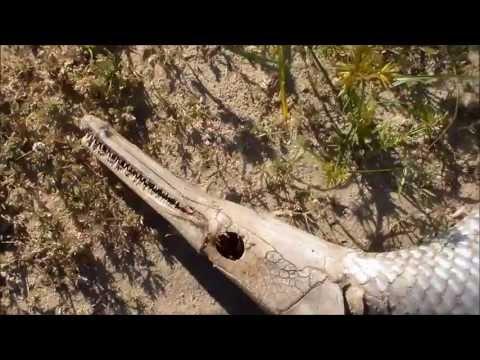 Freshwater Alligator Gar Dead On Shore