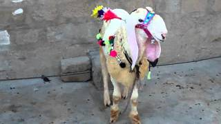 Qurbani Dunba Cattle