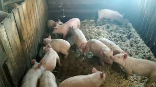 Свиноводство. Свиньи вскрыли полы, продажа поросят.