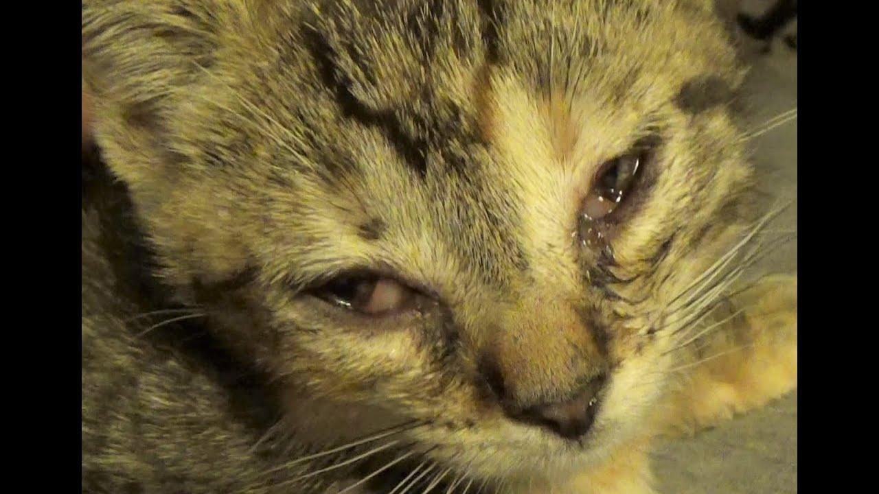 Home Remedy For Conjunctivitis In Kitten