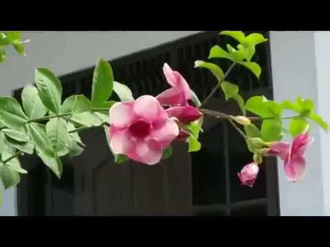 Mandevilla, Rocktrumpet, Tropical - Subtropical Flowering Plant