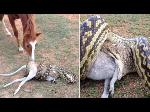 Thumbnail: Python eats wallaby as amused horse watches; Expert claims titanic sank because of fire - 1/3/2017