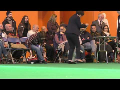Crufts Dog show 2017 Miniature Bull Terriers Limit Dog