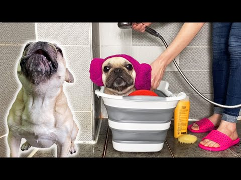 French Bulldog Does NOT Like Bath Time | Tantrum To Good Boy