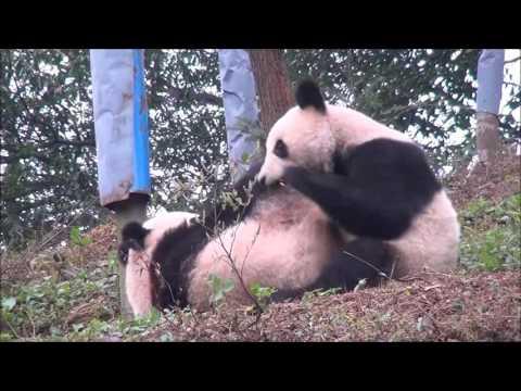 Giant Panda: Wrestling Giant Panda