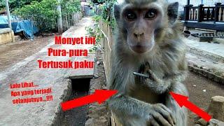 PINTAR..!!!! Awal nya monyet ini pura2 tertusuk paku, Lalu Lihat apa yang terjadi selanjutnya.???
