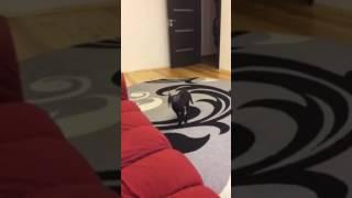 Котенок корниш-рекс думает, что он собака