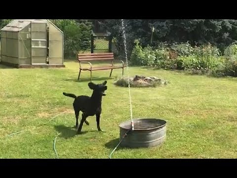 Dog has time of his life playing with backyard water hose