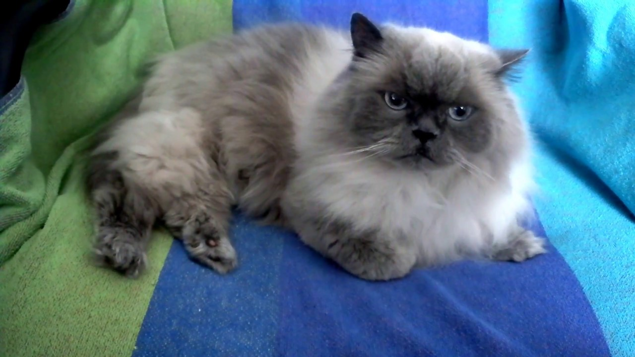 Little Girl Blue Point Doll Face Himalayan Persian Cat Rip 7 25 2016 Youtube
