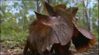 Wild Australian frilled lizards fight for territory in canopy trees - BBC wildlife