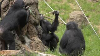 多摩動物公園 チンパンジー 2017年5月撮影 Chimps at Tama Zoological P...