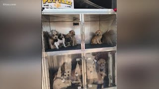 Humane Society caring for 33 small dogs surrendered by owner