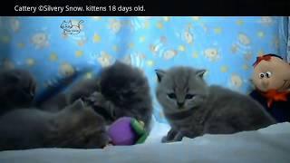 Видео, ролики смотреть онлайн «Британские котята». 18 дней от роду.