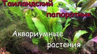 Таиландский папоротник(Microsorium pteropus)