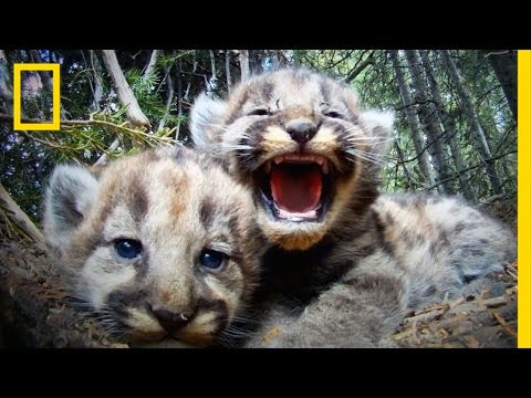 Cameras Reveal The Secret Lives Of A Mountain Lion Family | Short Film Showcase
