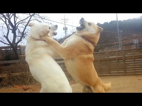 [52] '내가 이럴려고 결혼했나' 자괴감에 빠진 진돗개 금동이 개 부부싸움은 칼로 물베기/A couple dog fight  is just a quarrel