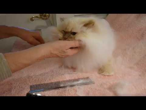 How To Trim A Persian Or Himalayan Cat's Mane or Ruff