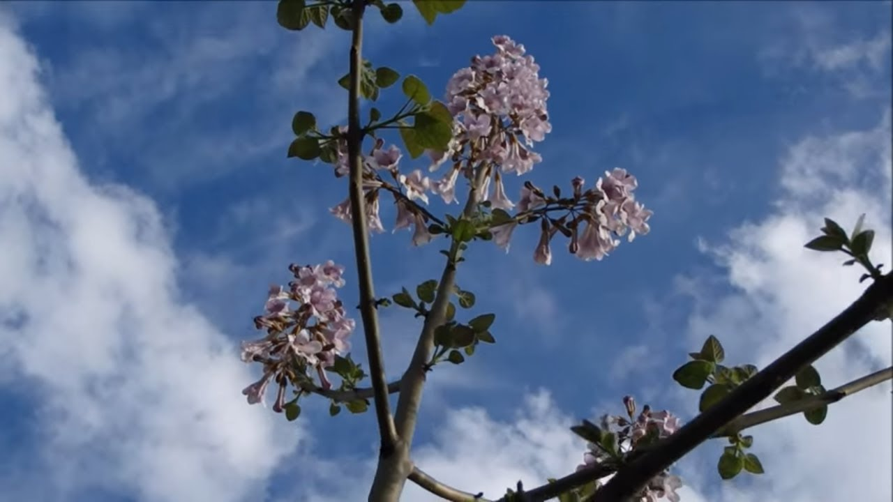 how to grow royal empress tree