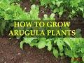 HOW TO GROW ARUGULA PLANTS