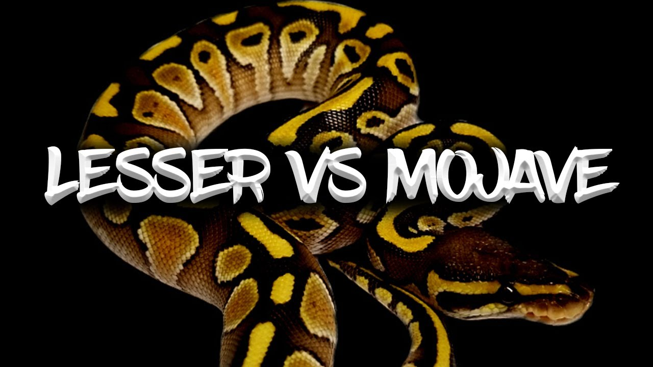 Download The 'Lesser' vs the 'Mojave' Ball Python (Which is Best?)