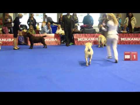 Euro Dog Show Brno - BOB - Labrador retriever