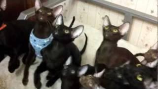 Котокомпания  (ориентальная кошка)