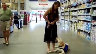 Labrador Training Bailey Goes To Lowes Dogtra E Collar