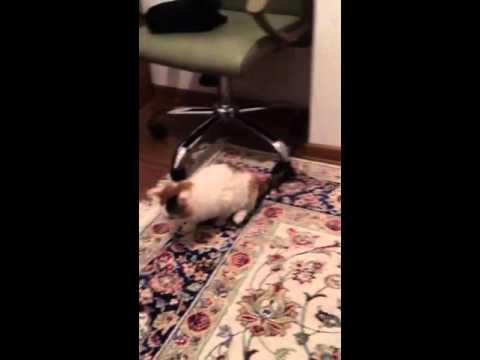 Самый чистоплотный кот в мире!!!