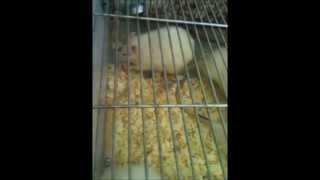 Кормление крыс!