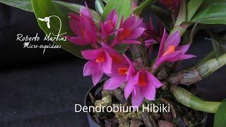 Dendrobium Hibiki (Dendrobium bracteosum X Dendrobium laevifolium), um híbrido de pequeno porte, o grande destaque é a grande duração de suas flores, ...