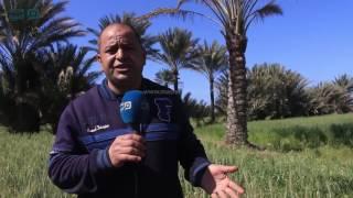 بالفيديو| «برج مغيزل» محاصيل ذابلة قبل الحصاد في كفر الشيخ