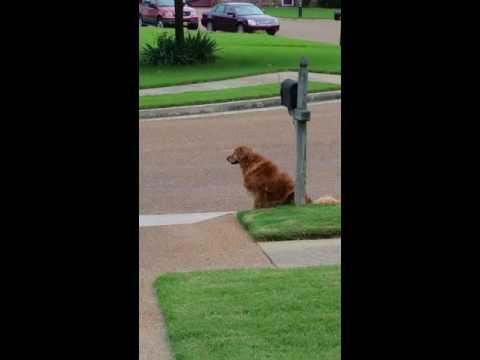 Golden Retriever waits for mail truck