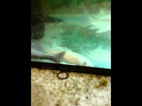 Aquarium milky carp fish - photo#20