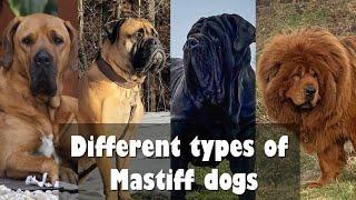 Types of Mastiff Dog | Dog Breeds | Mastiff Types dogs That are popular today !