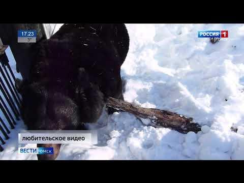 В Большереченском зоопарке медведь вышел из спячки