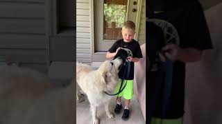 Grooming my Great Pyrenees named Chase